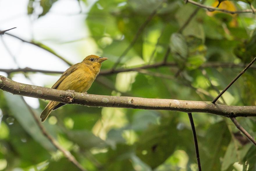 femelletangara-6132.jpg